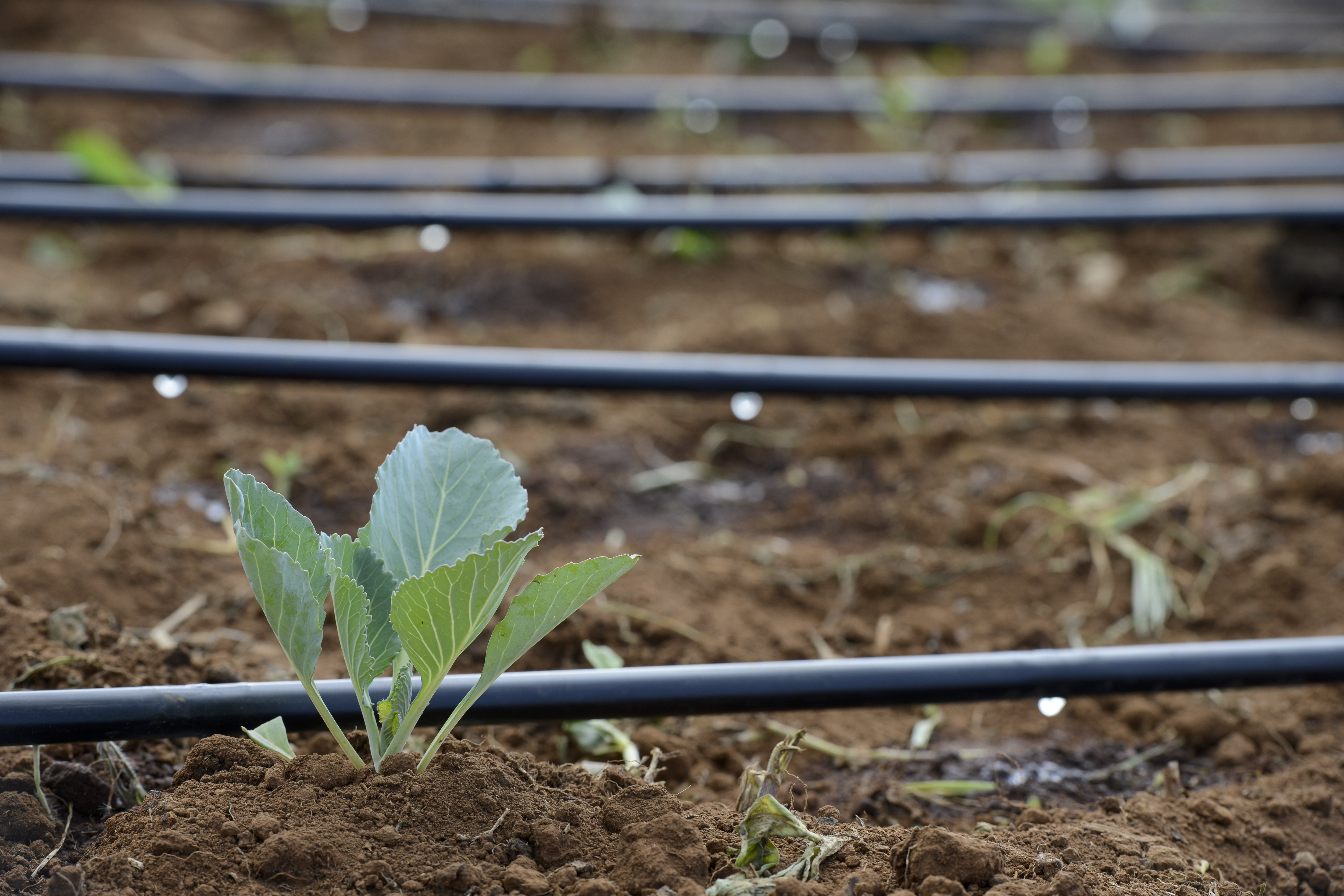 Drip irrigation in agriculture (©Böthling)