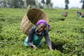 Woman tea farmer in Kenya.jpg