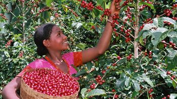 Red Cherry Picking (c) Powering Agriculture