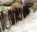 Dung dried on sticks in Bangladesh.jpg