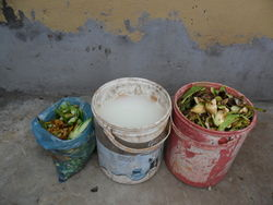 Kitchen waste used for the plant (rice water in the middle)